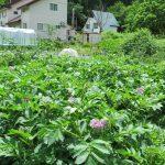 ジャガイモの収穫を迎えました。